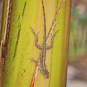 Brown Anole Poster