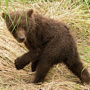 Brown Bear Cub Turns To Look Back Poster