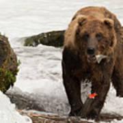 Brown Bear Eating Salmon Tail Beside Rocks Poster