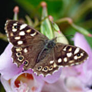 Brown Butterfly Poster