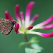 Brown Butterfly Resting On The Pink Plant Poster