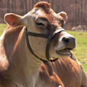 Brown Cow Chewing Poster