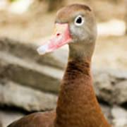 Brown Duck Portrait Poster