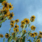 Brown-eyed Susans From Below Poster