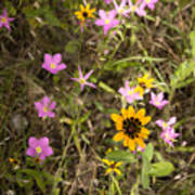 Brown Eyed Susans With Rose Gentian Flowers Poster