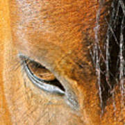 Brown-eyed Wild Horse Poster