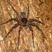 Brown Fishing Spider Poster