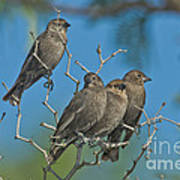 Brown-headed Cowbirds Poster