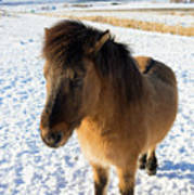 Brown Icelandic Horse In Winter In Iceland Poster