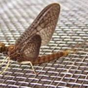 Brown Mayfly On Screening    Spring      Indiana Poster