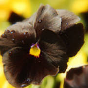 Brown Pansy Poster