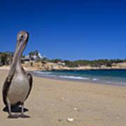 Brown Pelican At The Baja Poster