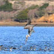 Brown Pelican Diving Poster