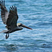 Brown Pelican In Flight Over Water Poster