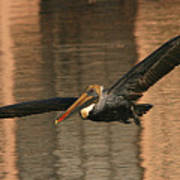 Brown Pelican On A Sunset Flyby Poster