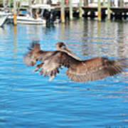 Brown Pelican Taking Flight Poster