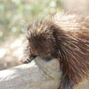 Brown Porcupine On A Fallen Log Poster