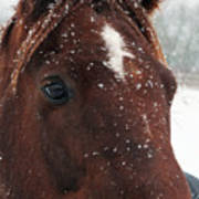 Brown Snow Horse Poster