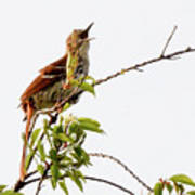 Brown Thrasher - I Am Here Poster