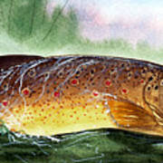 Brown Trout Taking A Fly Poster