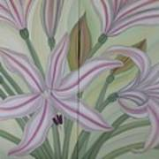 Brunsvigia Grandiflora Poster