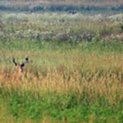 Buck In Field Poster