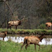 Buck In Wilderness Poster