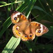 Buckeye Butterfly Poster