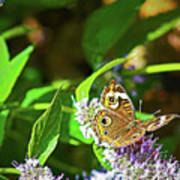 Buckeye Butterfly On The Move 1 Poster