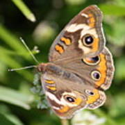 Buckeye Butterfly Square Poster