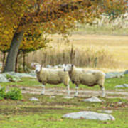 Bucolic Sheep In Mystic  Poster