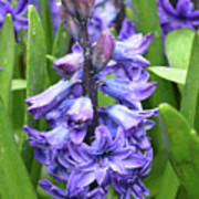 Budding And Flowering Purple Hyacinth Flower Poster