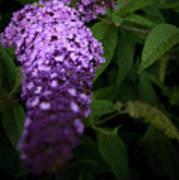 Buddleia Flower Poster