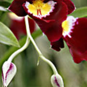 Buds And Blooms Orchid Poster