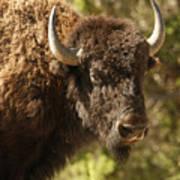 Buffalo Cow Poster
