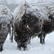 Buffalo In The Blowing Snow Poster