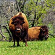 Buffalo Posing Poster