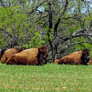 Buffalo Resting In A Field Poster