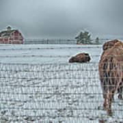 Buffalos In The Snow Poster by Barry C Donovan