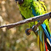 Buffon's Macaw Poster