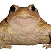 Bufo Bufo European Toad Isolated Poster