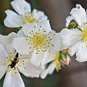 Bugaboo Apple Blossoms Poster