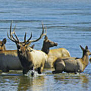 Bugling Elk In Lake Poster