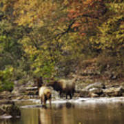 Bull And Cow Elk In Buffalo River Crossing Poster