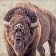 Bull Bison Poster