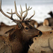 Bull Elk At Hardware Ranch Poster