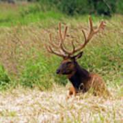 Bull Elk At Rest Poster