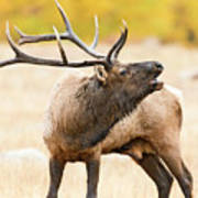 Bull Elk Bugling In The Fall Poster