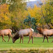 Bull Elk  Bugling With Cow Elks - Rutting Season Poster