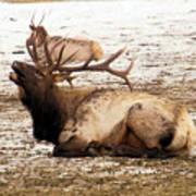 Bull Elk Calls Out Poster